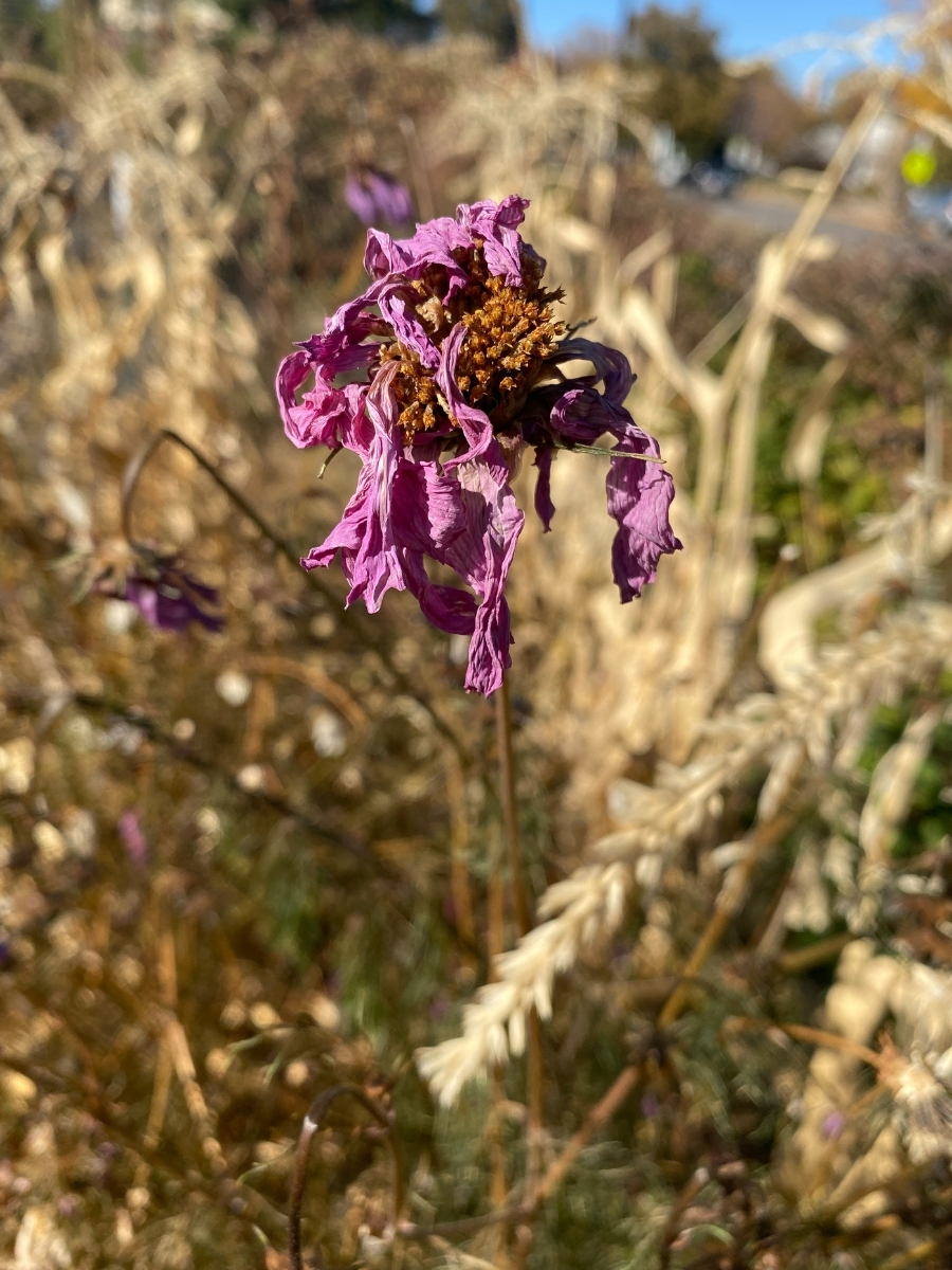 Purple cosmo flower, withering in garden fall 2020